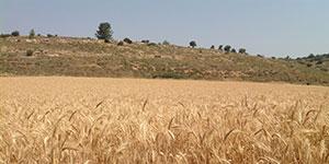 Flora: wheat