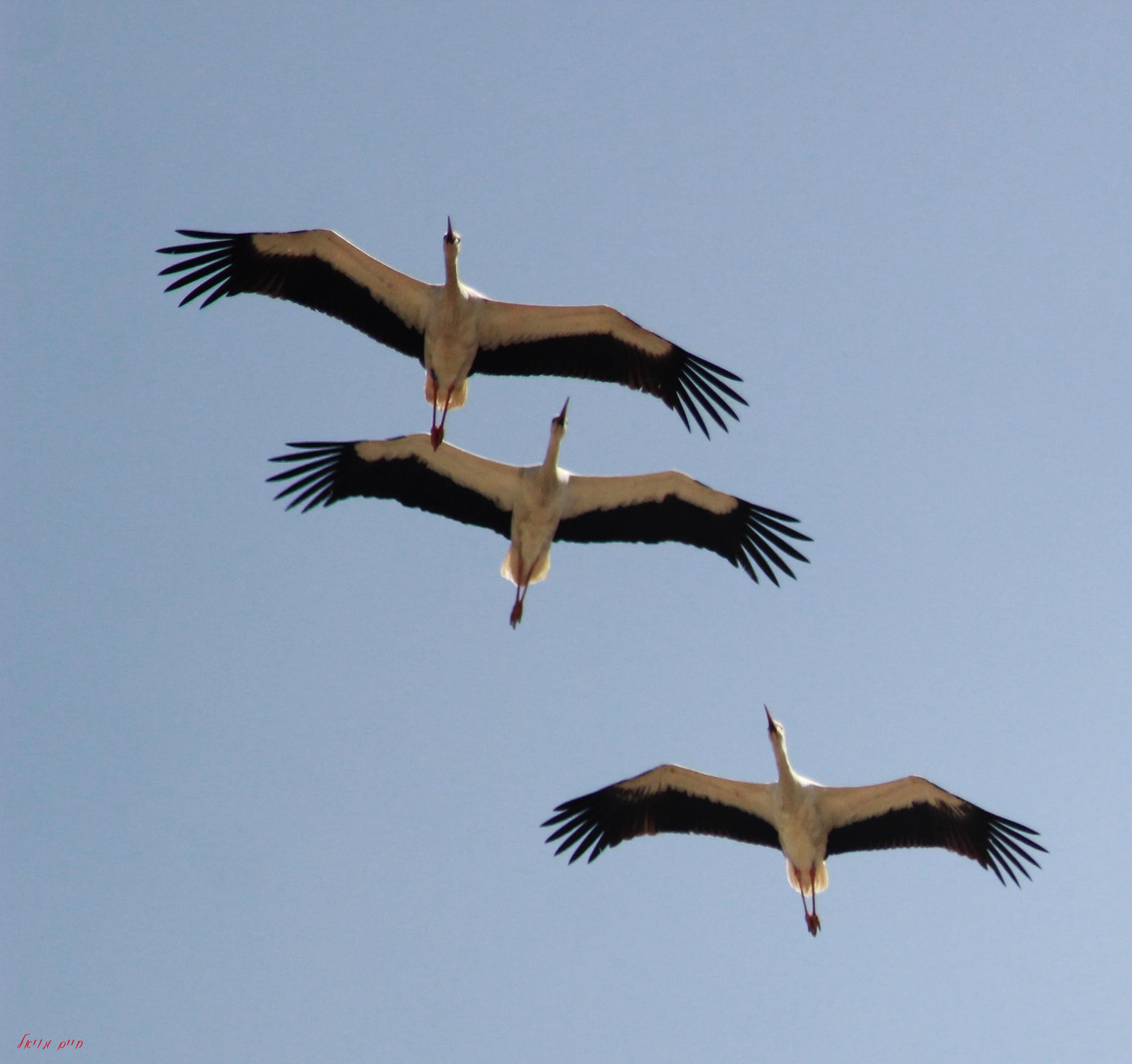 Storks in flight; by Haim Moyal