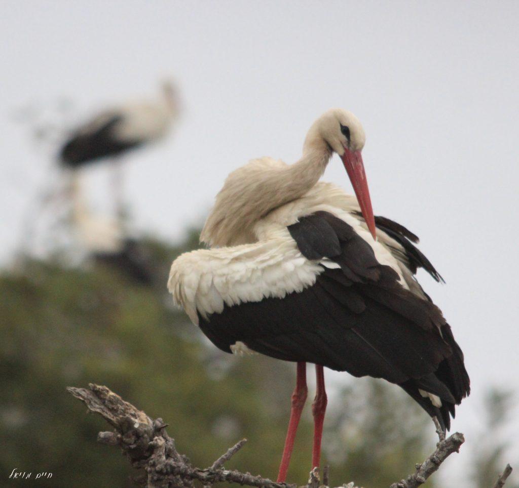 Stork; by Haim Moyal