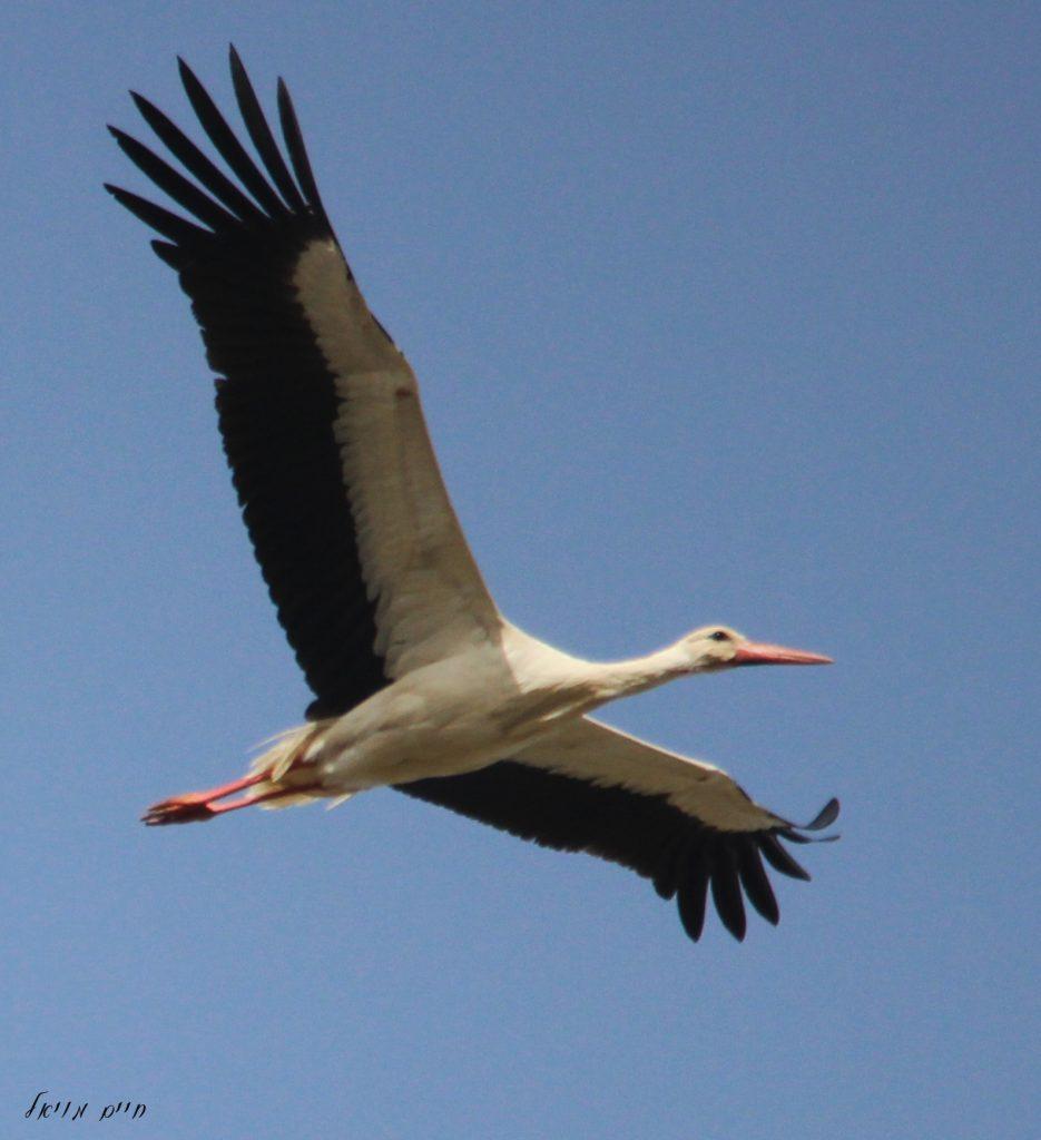 Stork in flight; by Haim Moyal