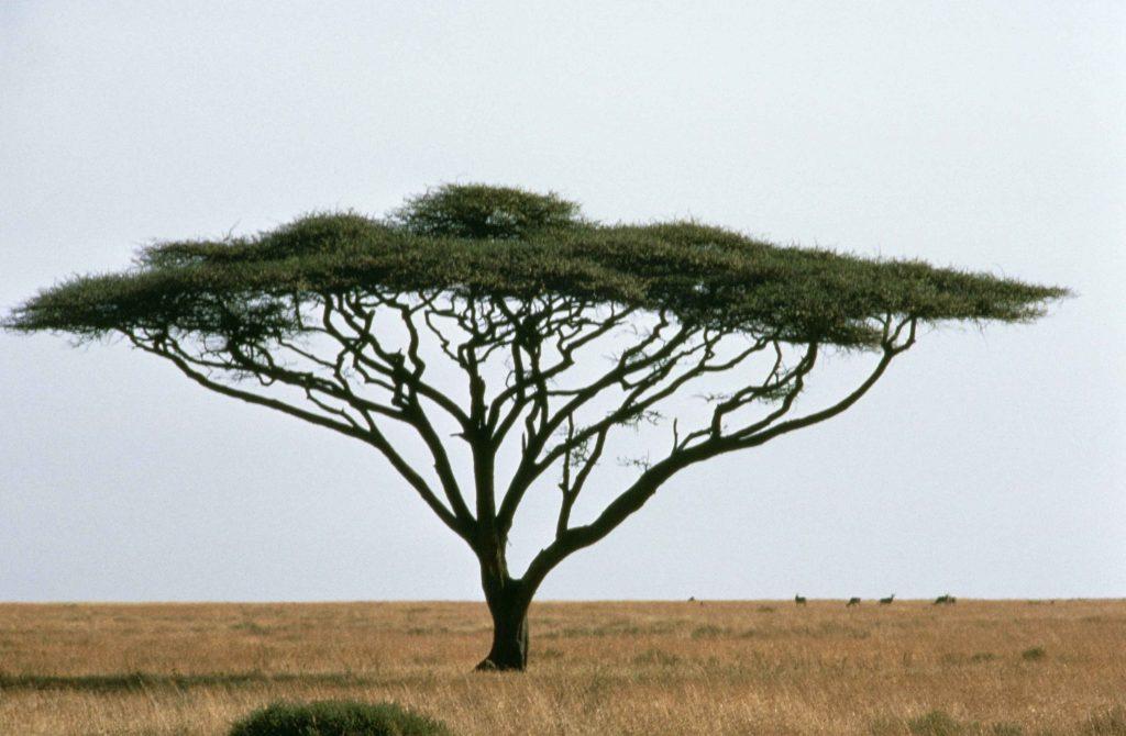 Umbrella thorn, Acacia