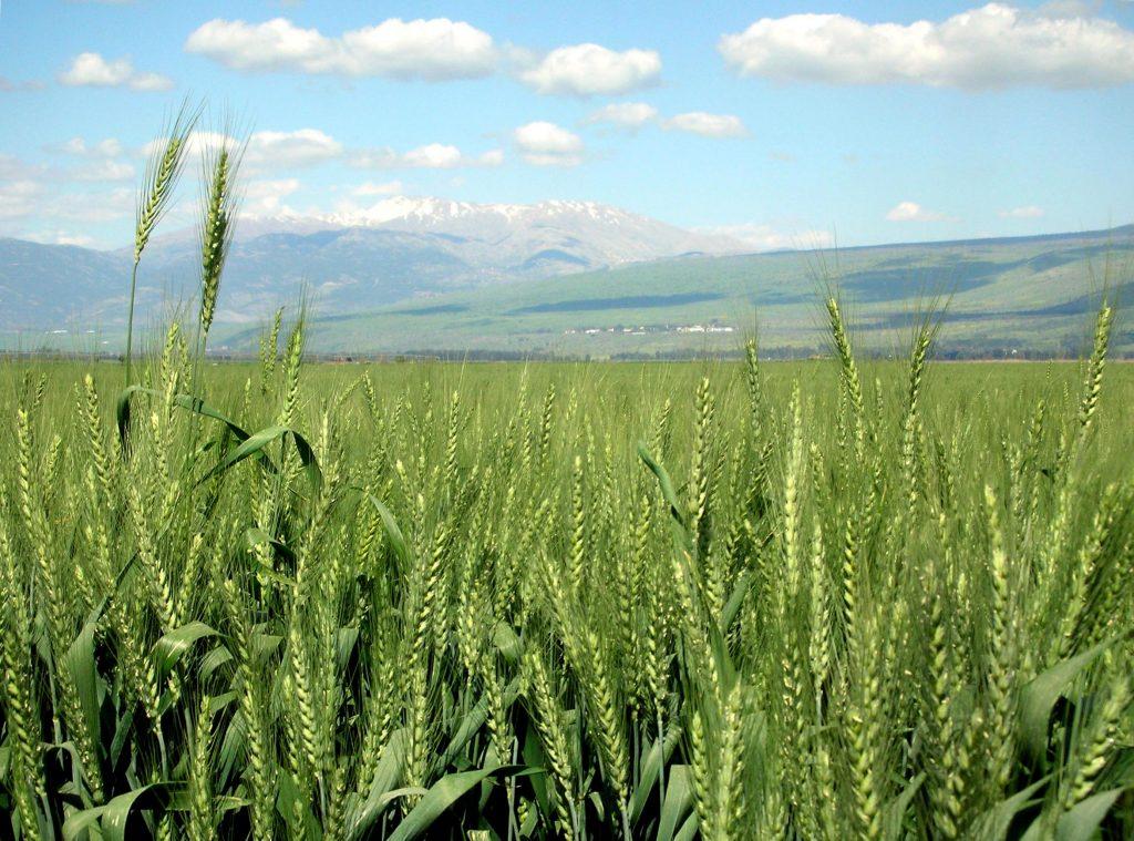 Wheat, Hula Valley