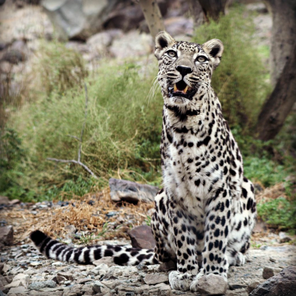 Arabian Leopard, Al-Hefaiyah Mountain Conservation Centre, UAE; by Tamsin Carlisle