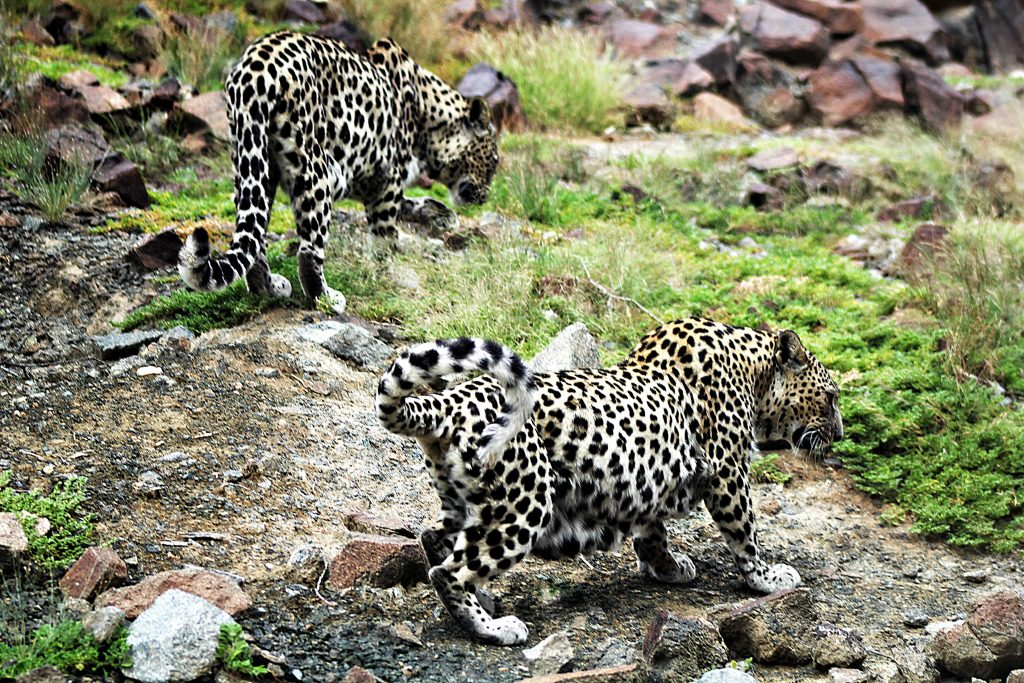 Arabian Leopards, Al-Hefaiyah Mountain Conservation Centre, UAE; by Tamsin Carlisle