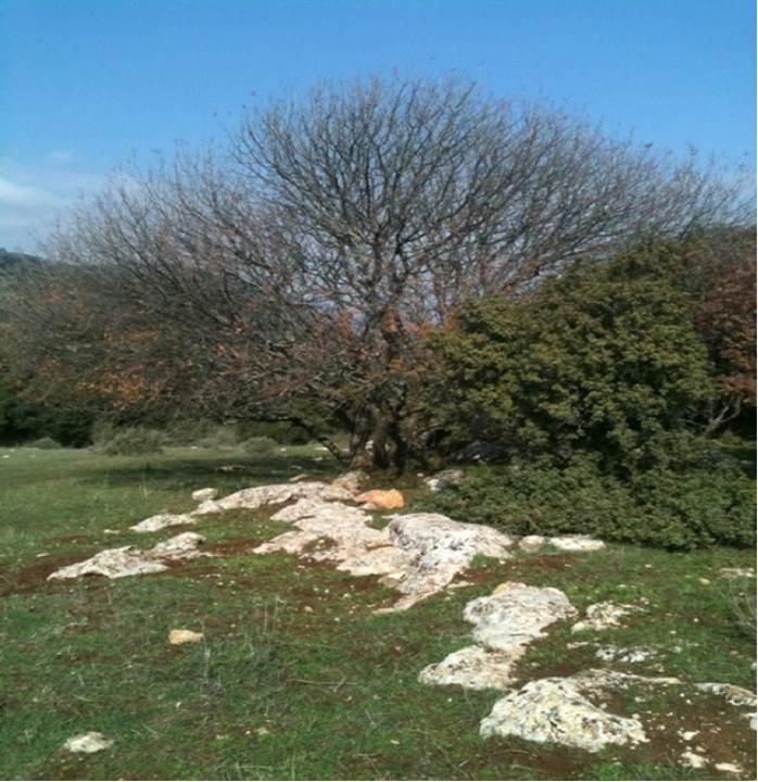 Aleppo oak, Upper Galilee; by Dalit Rom-Shiloni