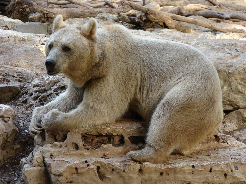 Ursus arctos syriacus, Ramat Gan Zoo