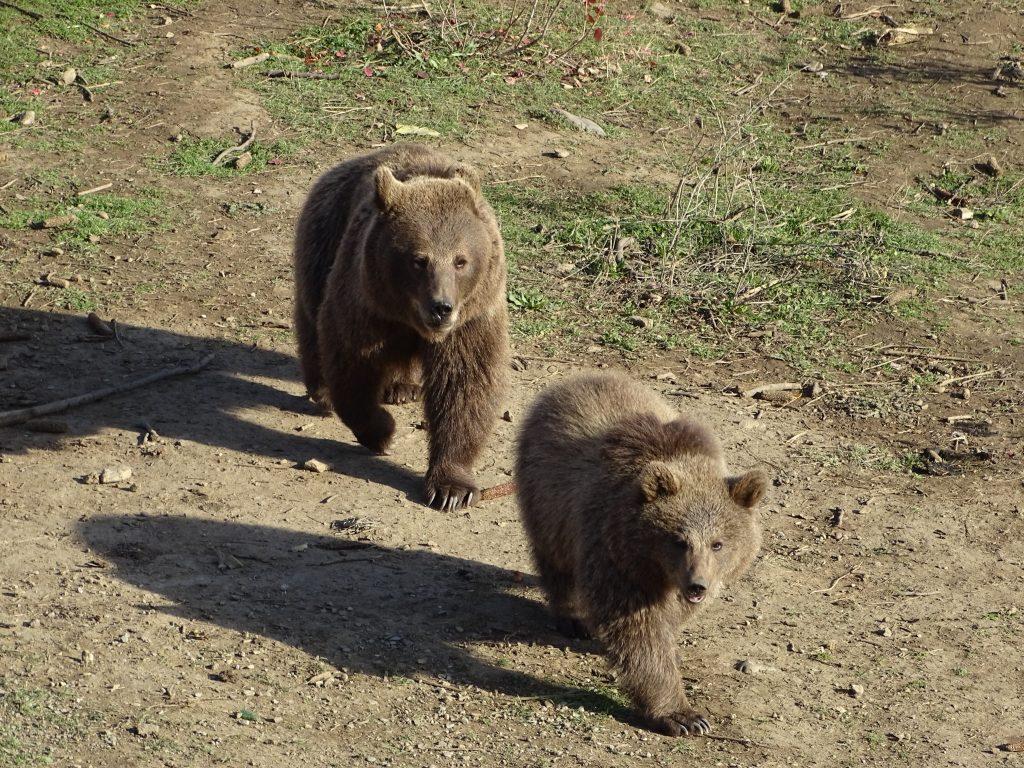 Ursus arctos syriacus, Tbilisi Zoo