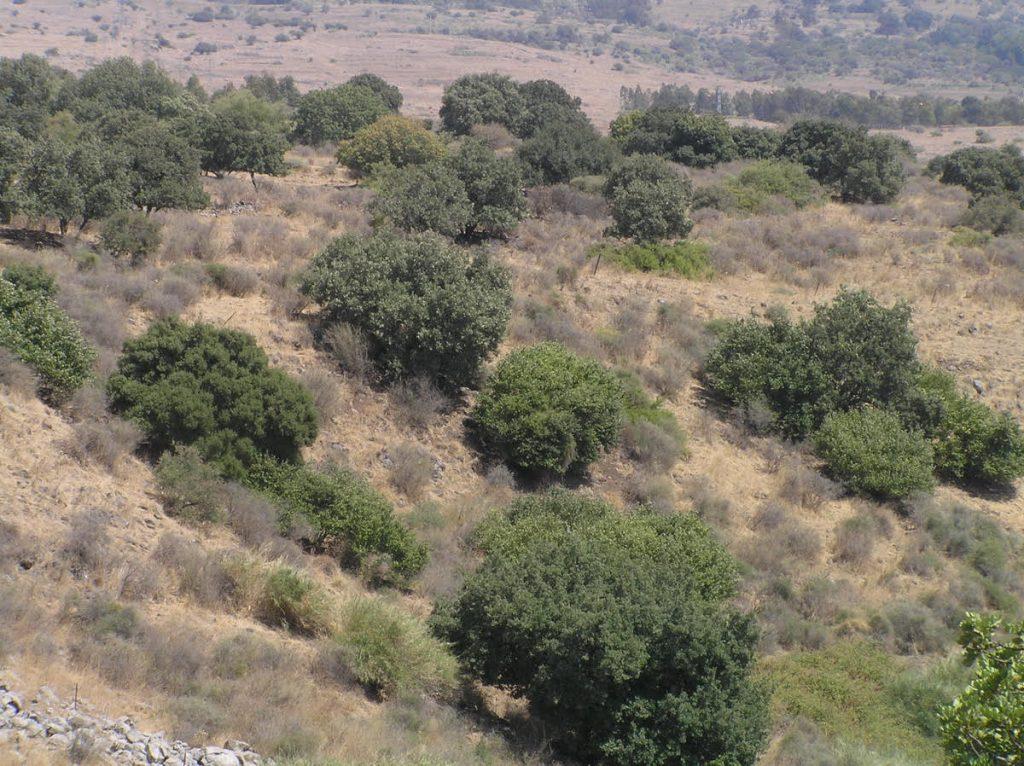 Tabor Oak Open Forest / Chapparal, Kibbutz Snir; by Yoel Melamed